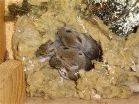 Mice and Rodent Control MN   MN Mice, Mouse Rodent Control   Mnwildanimalmanagement's Blog