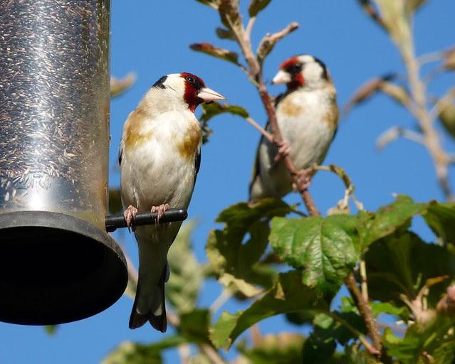 24738 - Goldfinch