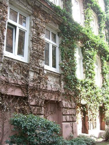 halb abgestorbener Efeu an Fassade