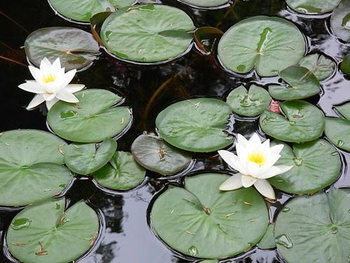 water lilies- sonnenberg