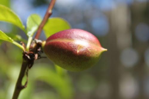 Baby nectarine