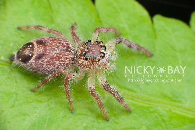 Jumping Spider (Salticidae) - DSC_8058
