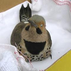 Flicker Bird 3