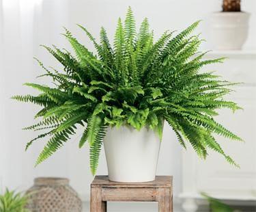 Boston Fern - Indoor, med light in back bedroom, bathroom or kitchen, makes a good hanging plant too