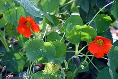 October nasturtium flowers