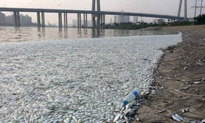 Dead fish surface near Tianjin blast site.
