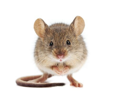 ?Heavy Mouse?, Fed On a Diet Of Isotopes May Be the Key To Generating Tissues In Lab