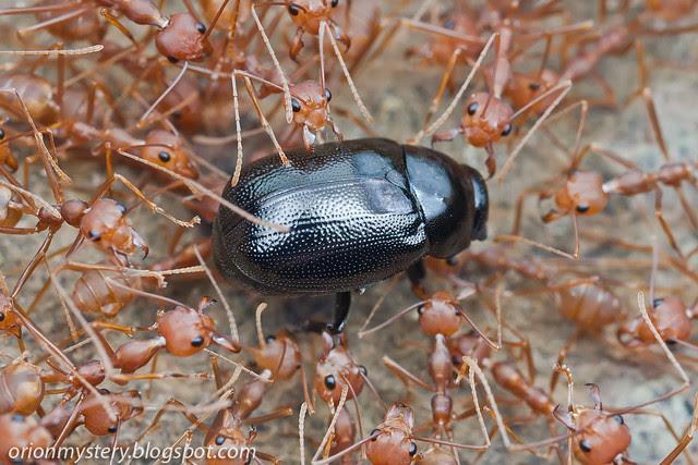 IMG_9524 copy Apogonia sp. beetle captured by Oecophylla smaragdina ants
