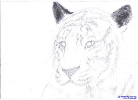 draw  white tiger draw  tiger  pencil step