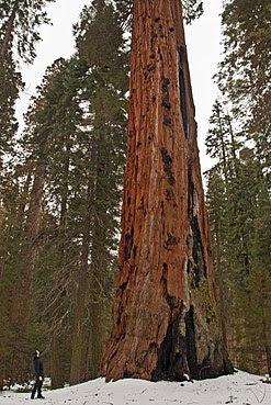 Árboles gigantes en Giant Forest, Parque nacional de los Secuoyas