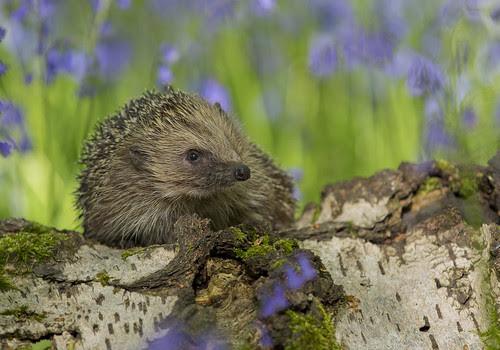Hedgehog in Bluebells ...