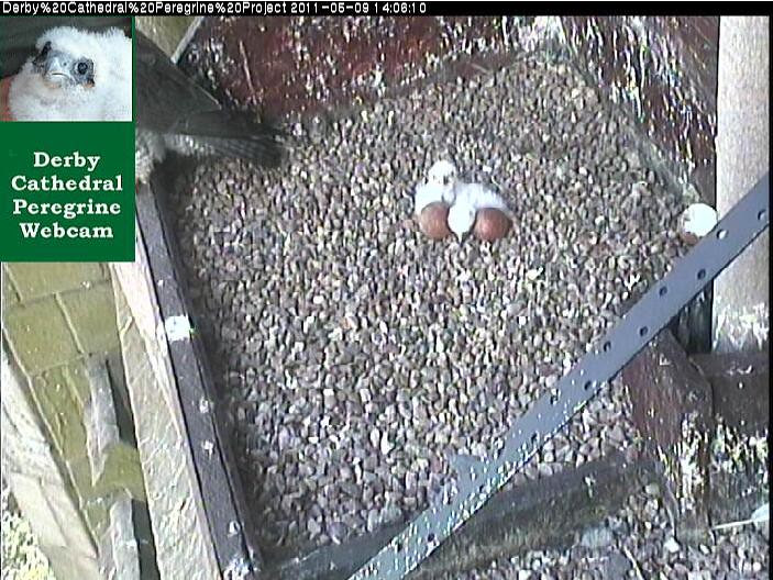 Feeding Time over, Tiercel on the ledge.