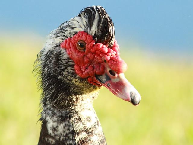 Muscovy Duck male 2-20111231