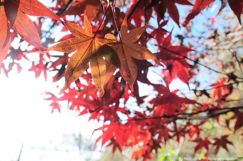 福壽山農場楓紅-18