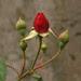 mawar/rose