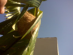 I found an oriole nest in the banana tree