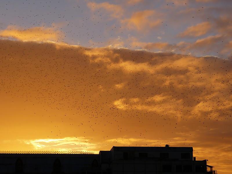 P1060347 - Starling Murmuration, Aberystwyth
