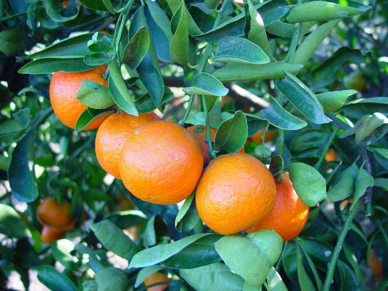 http://caribfruits.cirad.fr/var/caribfruits/storage/images/production_fruitiere_integree/fiches_synthetiques/les_especes_fruitieres_de_diversification/les_agrumes/5781-1-fre-FR/les_agrumes.jpg