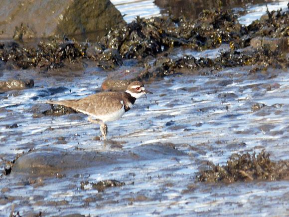 Ed Gaillard: birds &emdash; Killdeer, Randall's Island