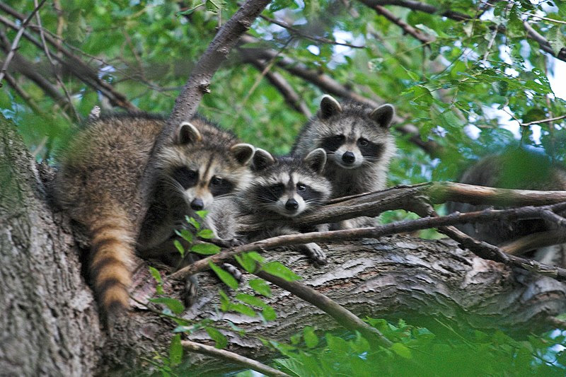 File:Raccons in a tree.jpg