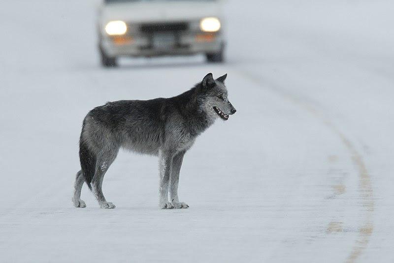 File:Wolfroad.jpg