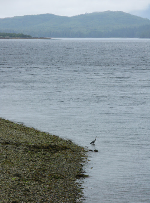 a heron fishes the shore at Kasaan, Alaska