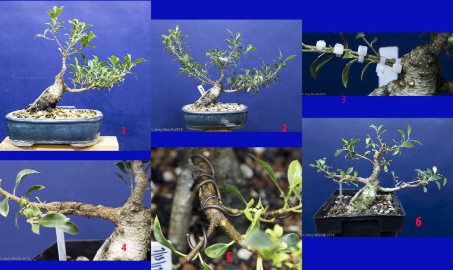 Ficus Microcarpa Bonsaihunk S Blog