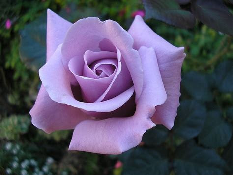 Best 20  Silver Roses ideas on Pinterest   Rose jewelry