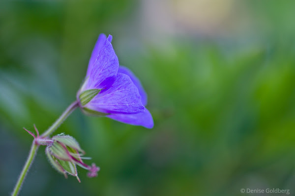 delicate petals in a light shade of purple