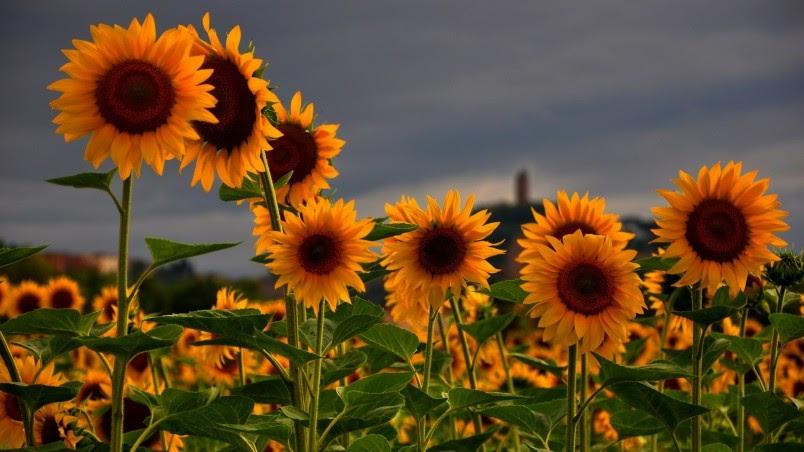 Sunflowers Field HD Wallpaper - WallpaperFX