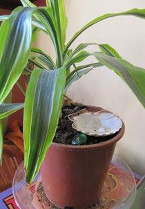 coquille au pied d'une plante, avec un cristal de roche en plus