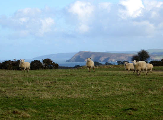 sheep-fishguard.jpg