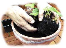 fraisiers : plantation en pot