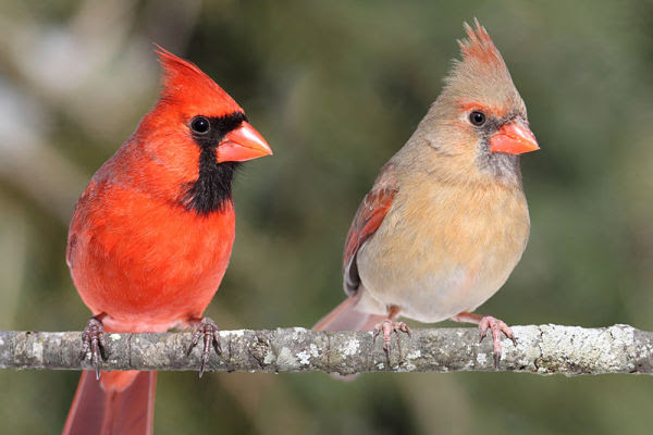 Northern Cardinal Bird The Beautiful Redbird