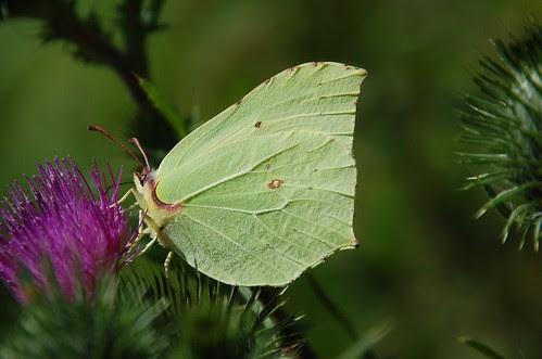 butterfly brimstone
