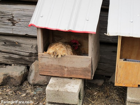 Chicken and egg tales (5) - It looks like Lokey, our star mother hen, has gone broody again - FarmgirlFare.com
