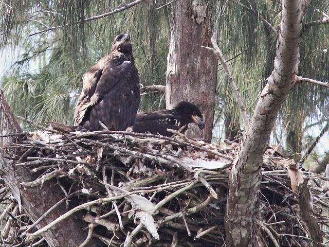 Bald Eaglets Glory and Honor 20140317