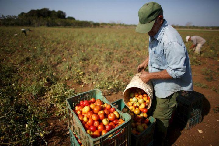 0114-recogida-tomate.jpg