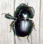[Figure2.1.2 (flightless weevil, apterocyclus_honolulensis)]