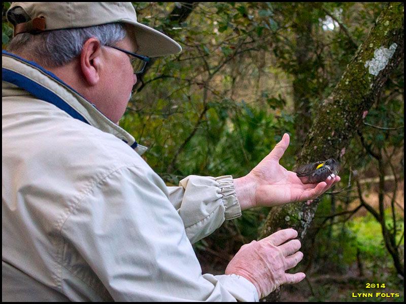 Myrtle Warbler, Yellow-rumped Warbler