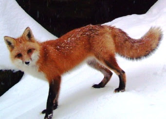 http://www.dec.ny.gov/images/wildlife_images/redfox2.jpg