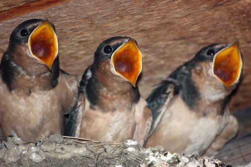 Three Hungry Baby Barn Swallows by mclcbooks, on Flickr