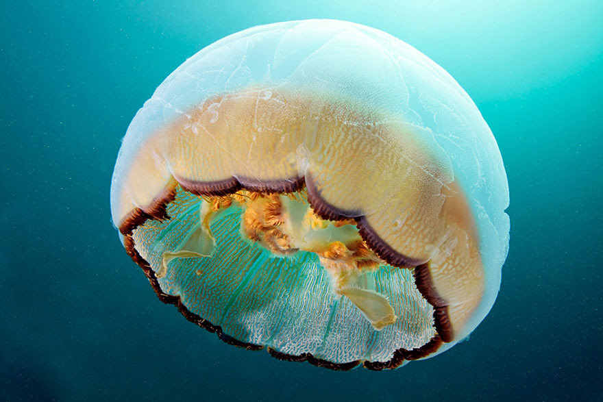 underwater-jellyfish-alexander-semenov-aquatis-22-2