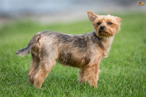 Yorkshire terrier health testing and genetic diversity   Pets4Homes