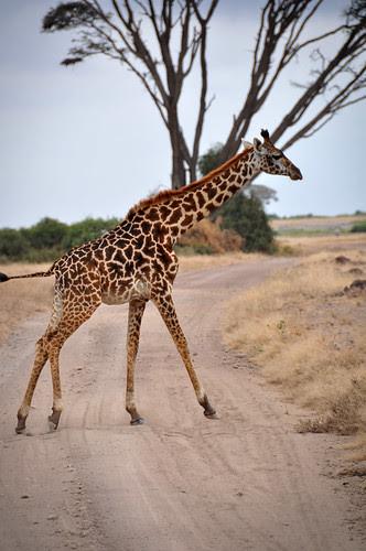 Giraffecrossestheroad