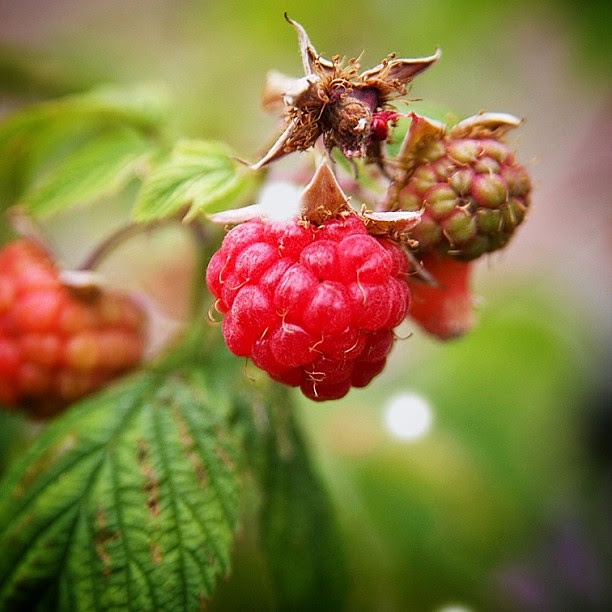 Summer days and fresh raspberries (taken with the big Canon) #raspberries #summer #berries #red #edmonton #canada #hazelnutsonholiday