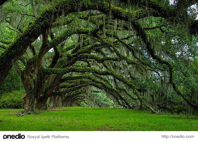 20. Güney Karolina'daki meşe ağacı tüneli