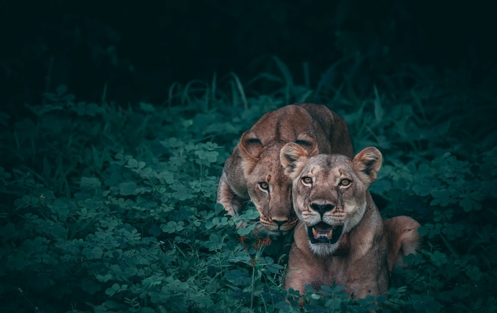 Top 1080p Angry Lion Images Hd - work quotes