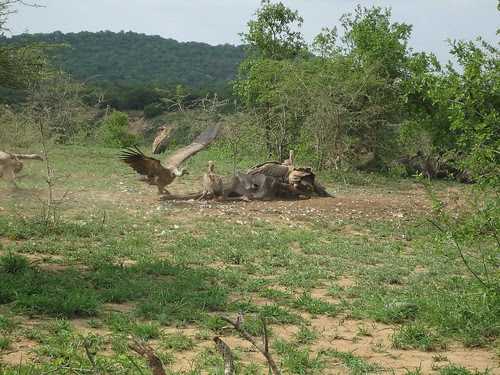 wildebeast carcas