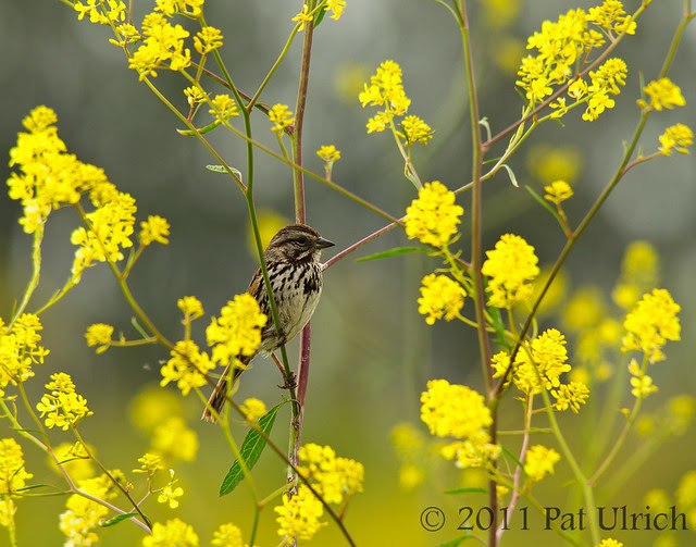 Song sparrow in flowers - Pat Ulrich Wildlife Photography
